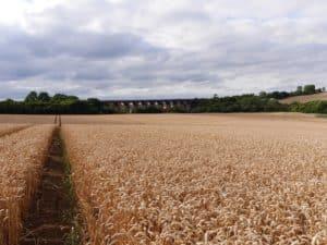 leicestershire corn field