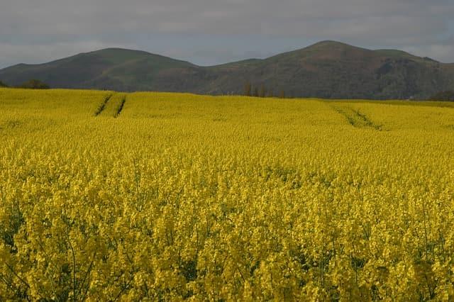 malvern hills rape seed